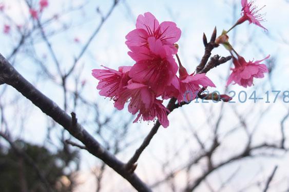 久米島の桜の花